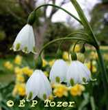 The Loddon Lily, photo photo © E.P.Tozer